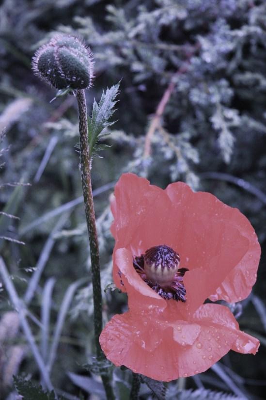 blomster juni 09 019