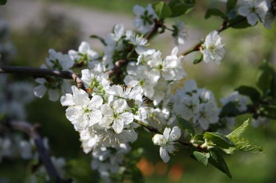 blomster mai 09 003