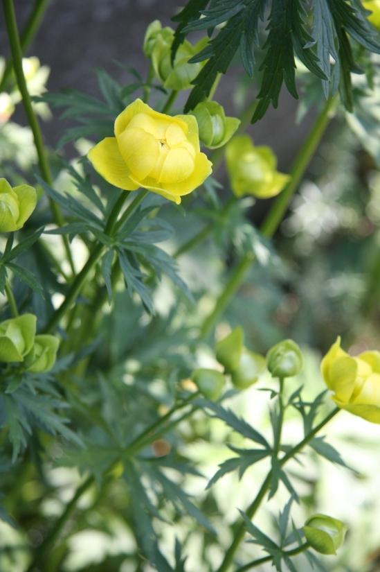 blomster mai 09 035